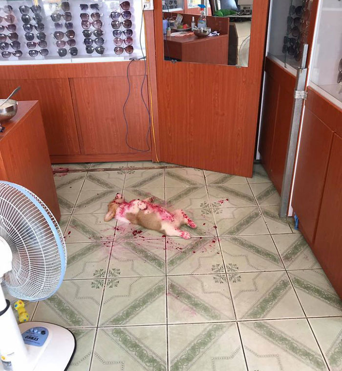 Corgi Gives His Owner And The Entire Internet A Mini Heart Attack After He Eats Some Dragon Fruit And Rests In The Mess