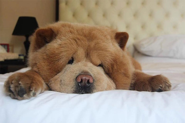 Meet Chowder, The Chow Chow That Looks Like A Giant Teddy Bear (30 Pics)