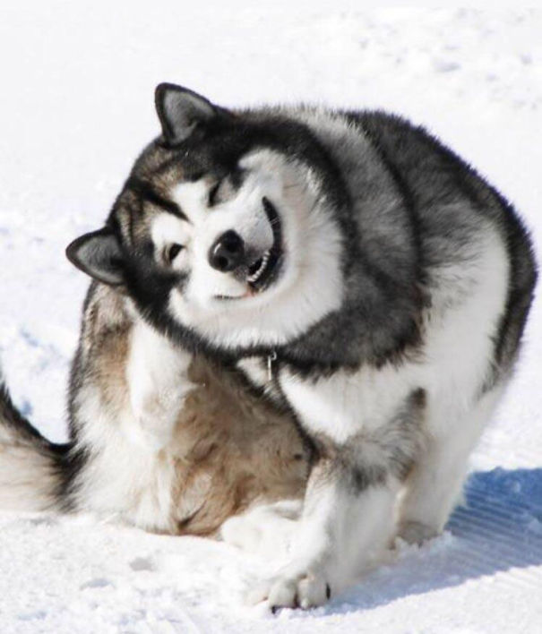 An Alaskan Malamute Having The Time Of His Life At Mt. Hermon, Israel