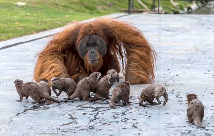 Orangutans Befriend Otters That Often Swim Through Their Enclosure At The Zoo Forming 'A Very Special Bond'