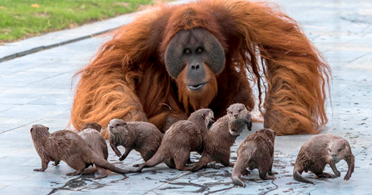 Family Of Orangutans Forms A Special Bond With Their Otter Friends That Share The Same Zoo Enclosure