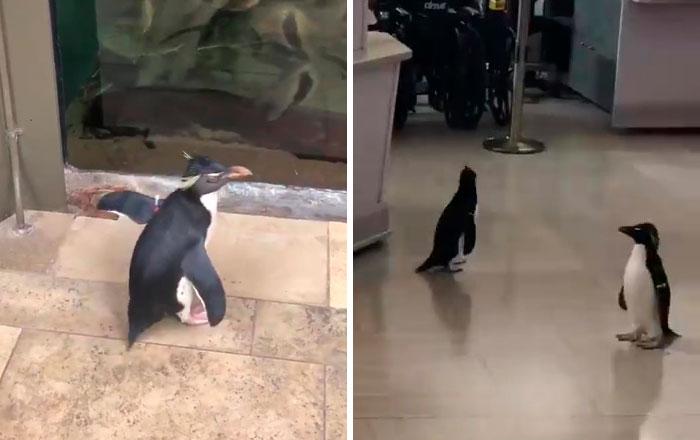 Tras cerrar sus puertas, este acuario saca a sus pingüinos de paseo por las instalaciones