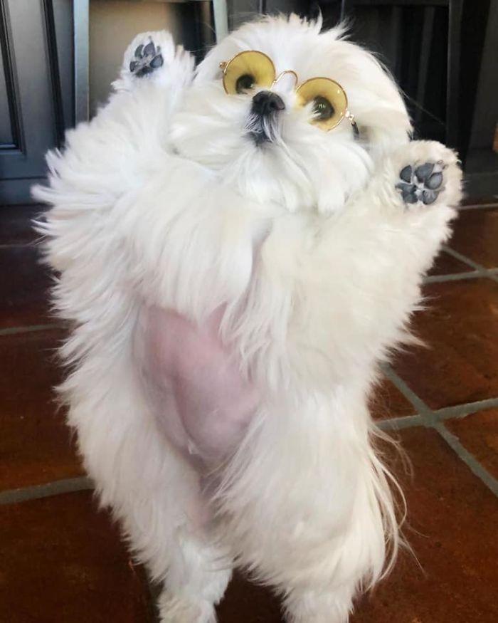 standing-maltese-dog-coco-3-5e6a032d55497__700.jpg