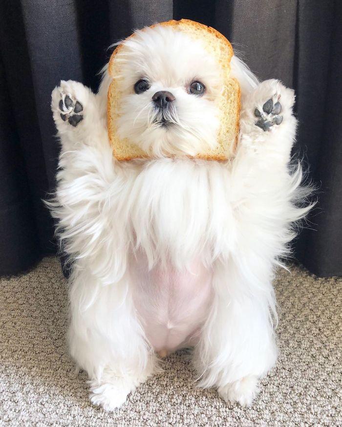 standing-maltese-dog-coco-8-5e6a03f2282ba__700.jpg