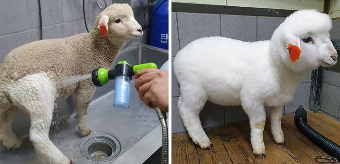 Esta cafetería con ovejas en Corea comparte fotos virales del lavado de una oveja