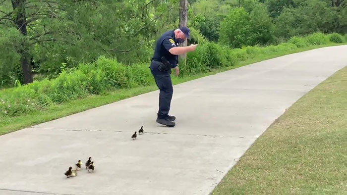 Police Monitoring Parks Escort A Family Of Ducklings Looking For Their Mother