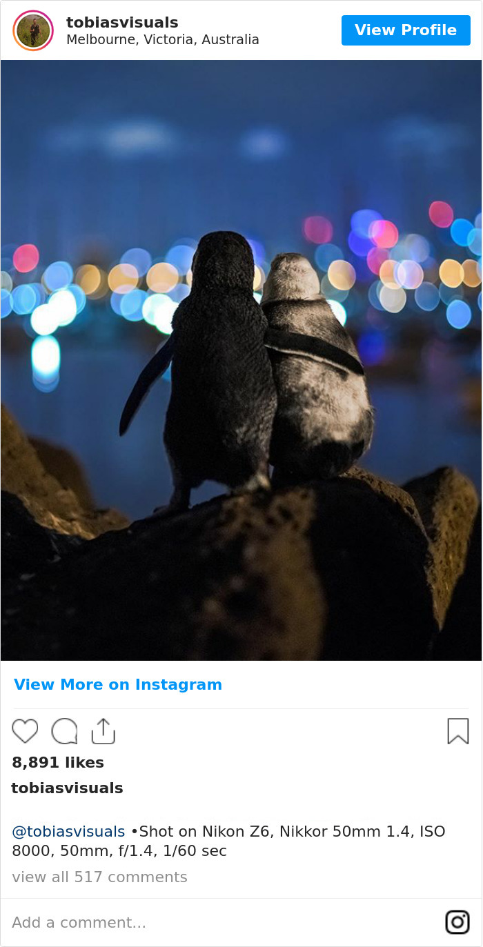 Photographer Captures A Shot Of Two Widowed Penguins Overlooking The Melbourne Skyline Together Bored Panda