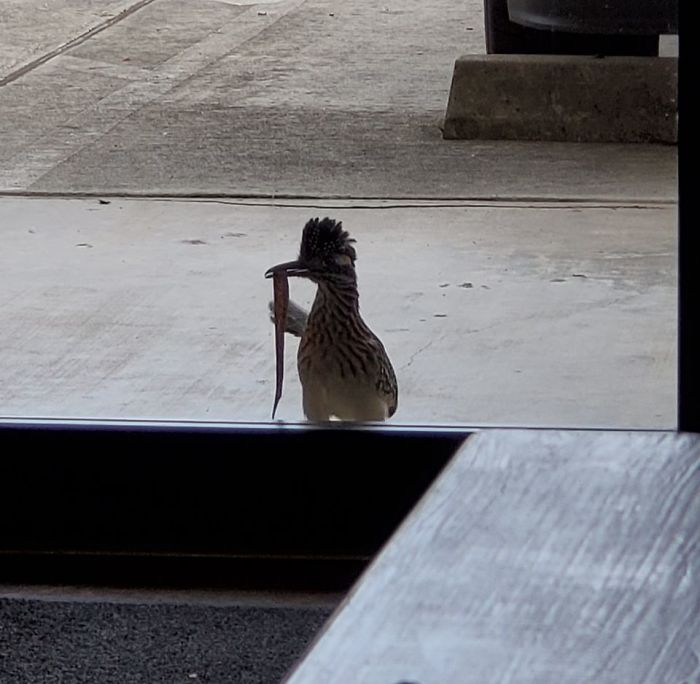 This Guy Pecks On Our Door Almost Daily And Brings Offerings Of Bugs Snakes And Lizards