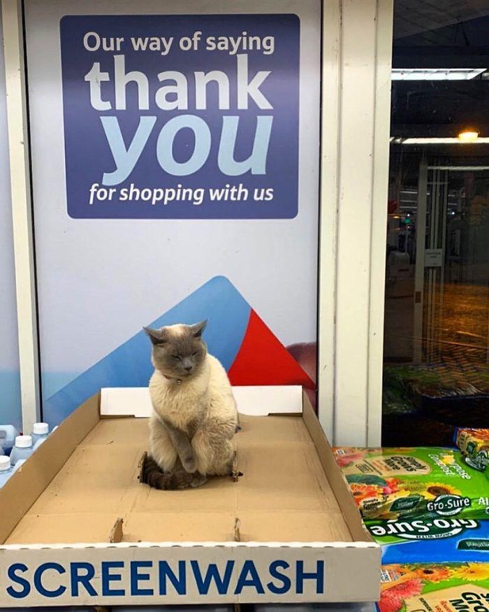 Fotografije mačaka u malim trgovinama koje izgledaju kao da su vlasnici (30 slika)