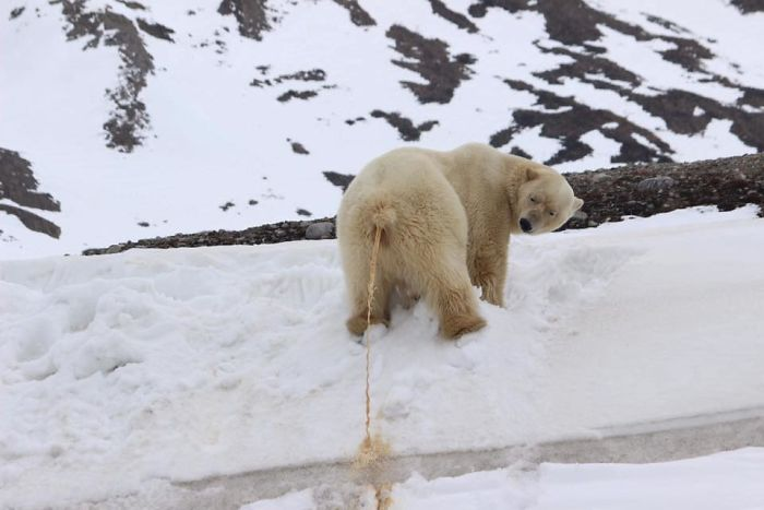 """Not Quite Sure I Interpreted The """"Crap Wildlife"""" Part Of The Name Of The Group Name Correctly, But One Thing Is For Sure: This Polar Bear Is Not Peeing"""
