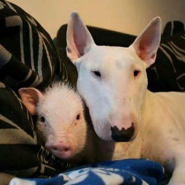 3e2d0aea7fc9509d8726314d71b80495-mini-pigs-english-bull-terriers-5e947ae60d058.jpg