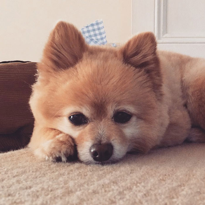Woman Leaves Her Instagram Followers In Stitches After Grooming Her Dog In Self-Isolation
