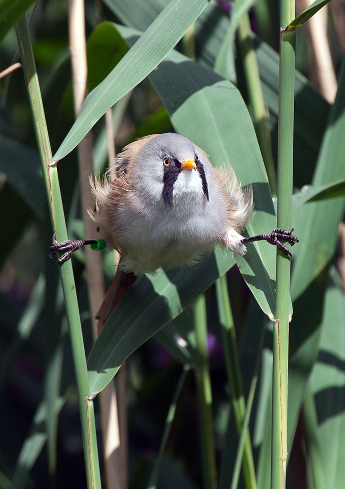 These Adorably Round Bearded Reedling Birds Can Do Perfect Splits