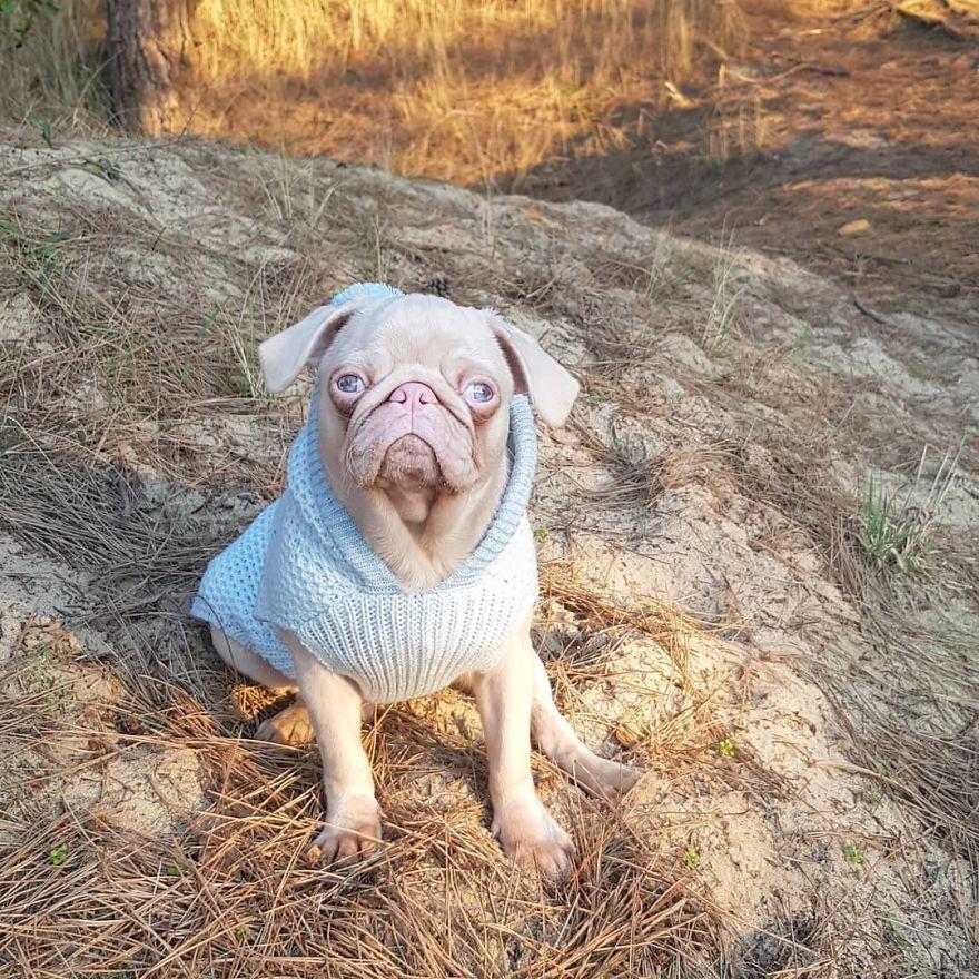 Meet Milkshake, The Albino Pug That Is Going Viral