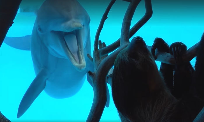 These Dolphins Have Lost Their Minds With Excitement At The Sight Of A Sloth