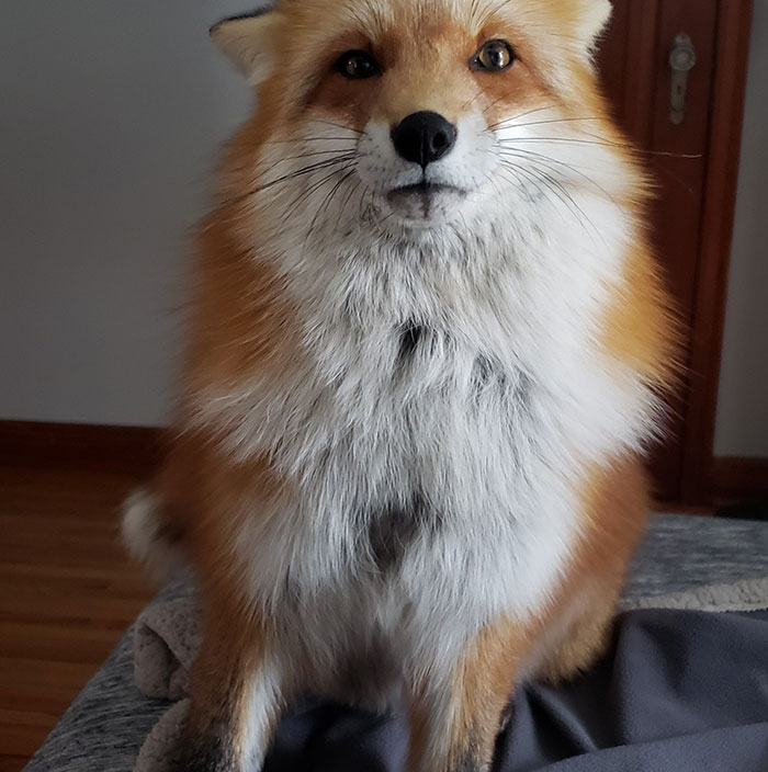 This Sneaky Fox Steals A Woman's Phone, Runs Away While It's Still Recording, Tries To Bury It