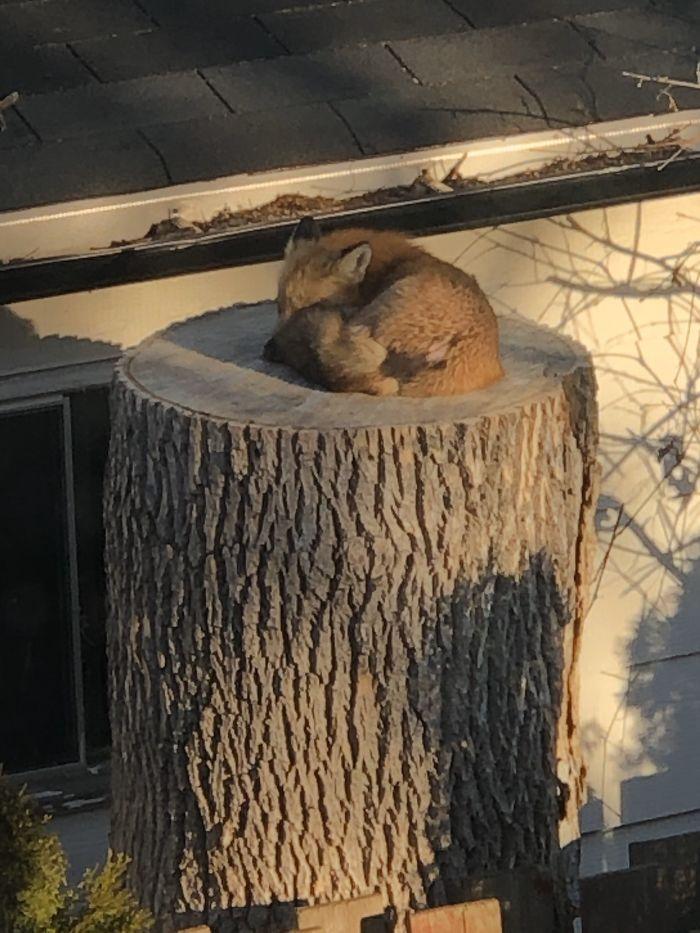 Predivna mala lisica pronađena  kako spava na panju u urbanoj Kanadi