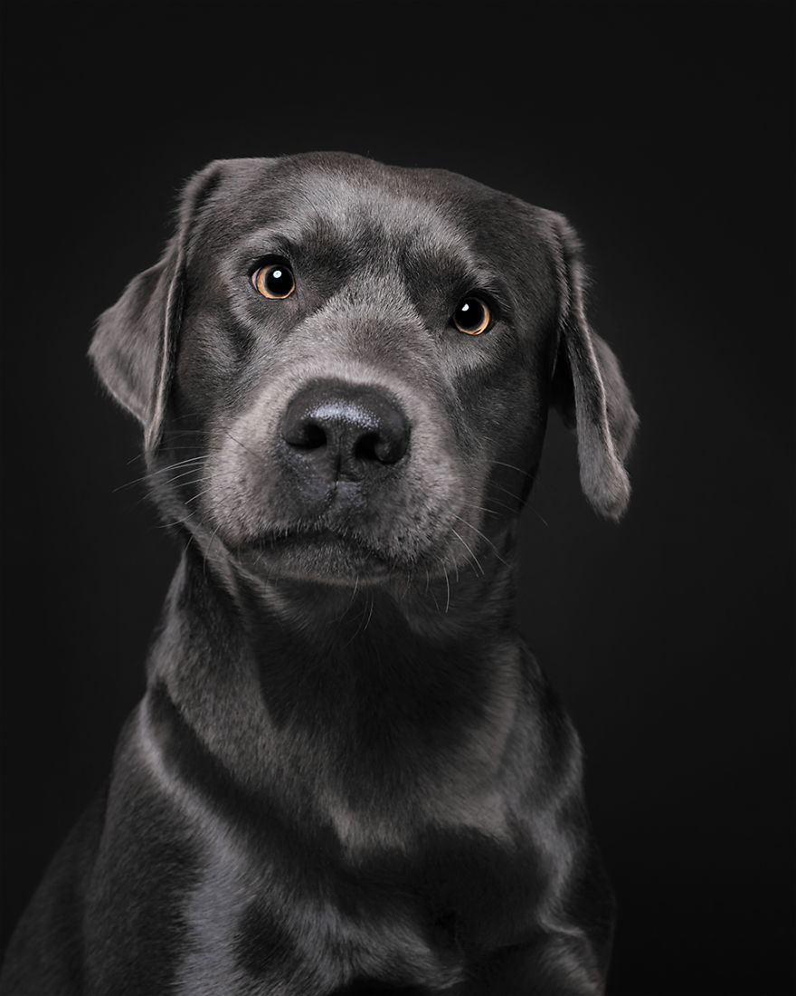 Cooper, The Labrador
