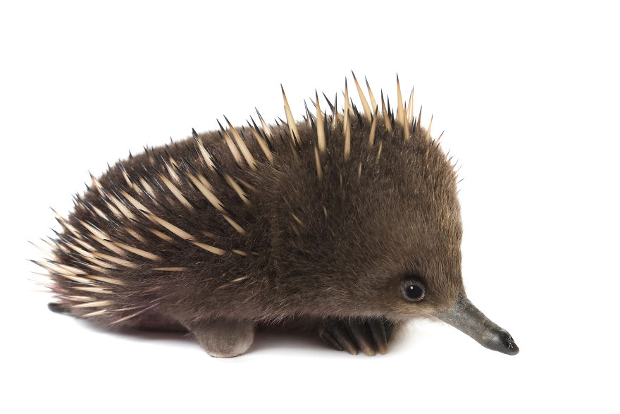 Randal The Echidna Was Taken In By Bonoring Wildlife Sanctuary When He Lost His Foot In A Dog Attack