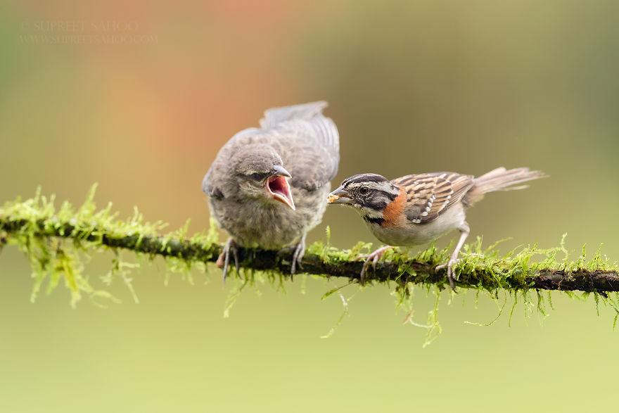 Rufous-Collared Sparrow (R) & Bronzed Cowbird (L)