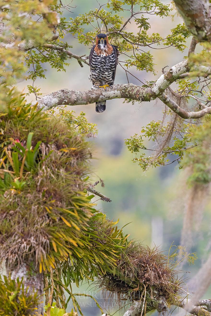 Ornate Hawk Eagle