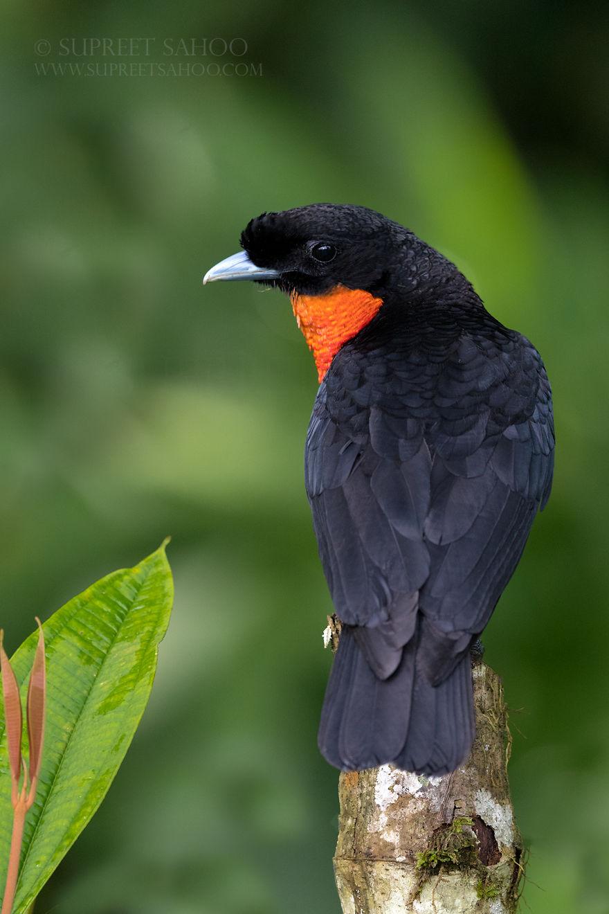Red-Ruffed Fruit-Crow