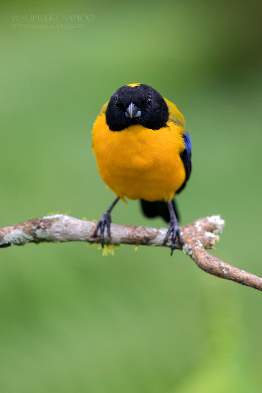 Black-Hooded Mountain Tanager