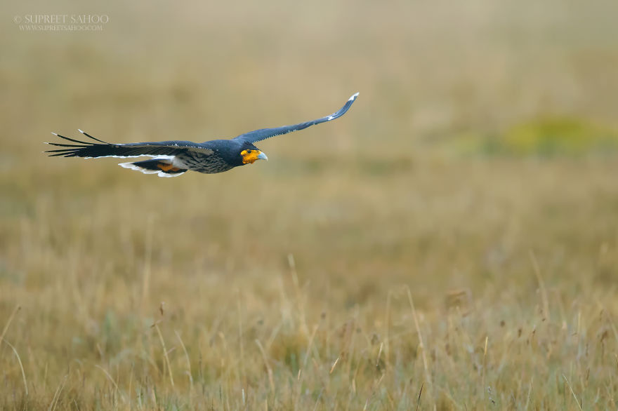 Caranculated Caracara
