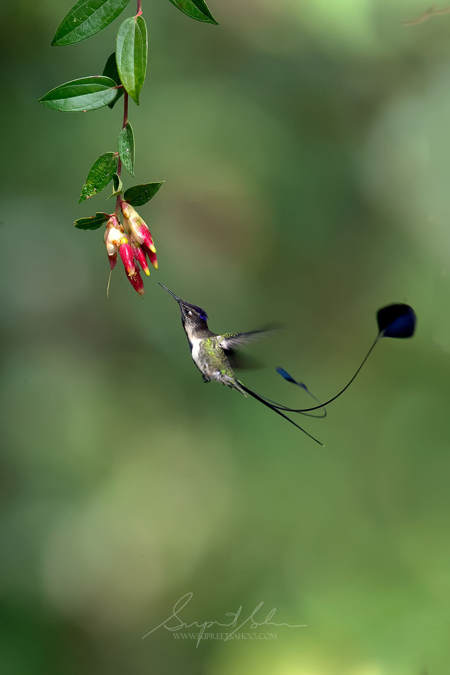 Marvelous Spatuletail Hummingbird