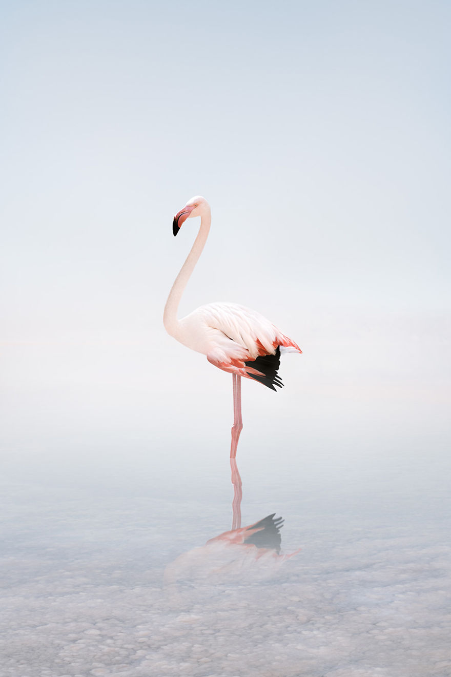 Wondering White Flamingo