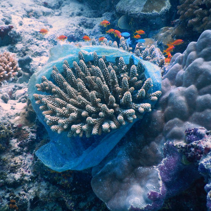 Plastic Bag On A Coral Colony