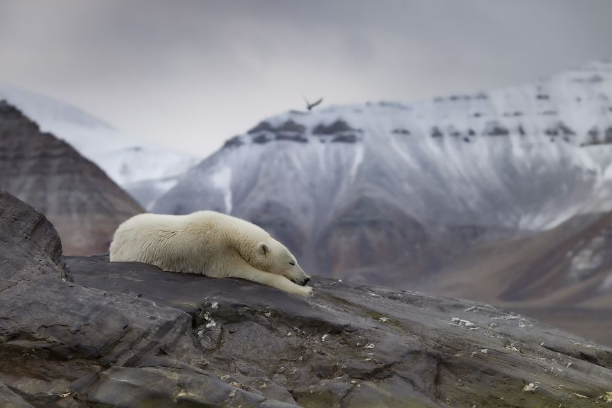 Polar Bear In An Iceless Land