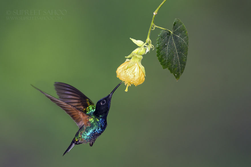 Velvet Purple Coronet (In Flight)