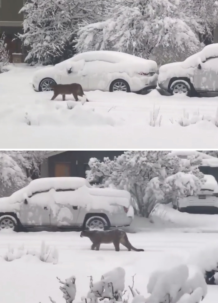 Mountain lions walk around in Boulder, Colorado