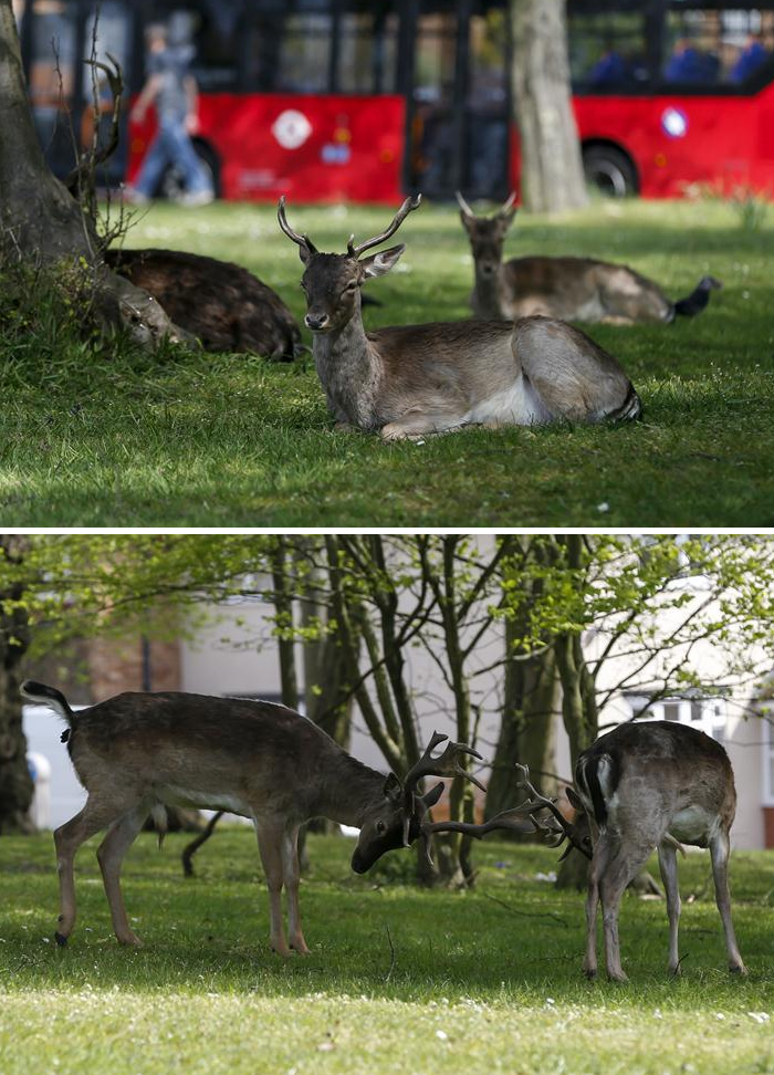 Normally seen only in parks, deer were noticed in residential areas of London