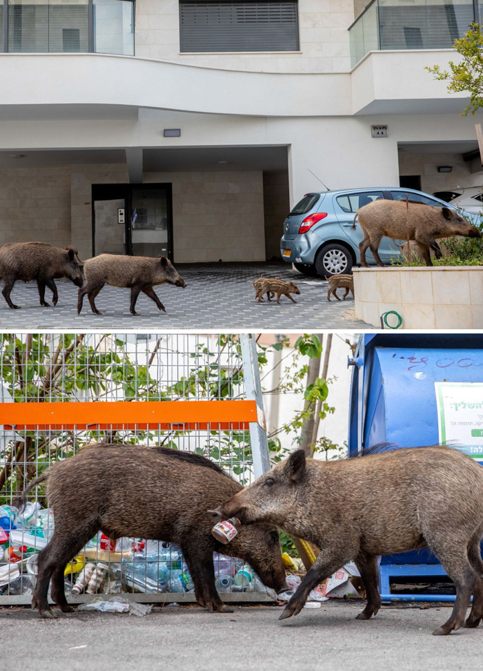 Wild boars take over the streets in Haifa, Israel