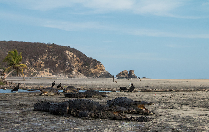 Popular among tourists, the beach of Ventilla, Mexico is now packed with crocodiles