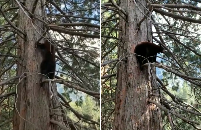 Black Bears in Yosemite National Park