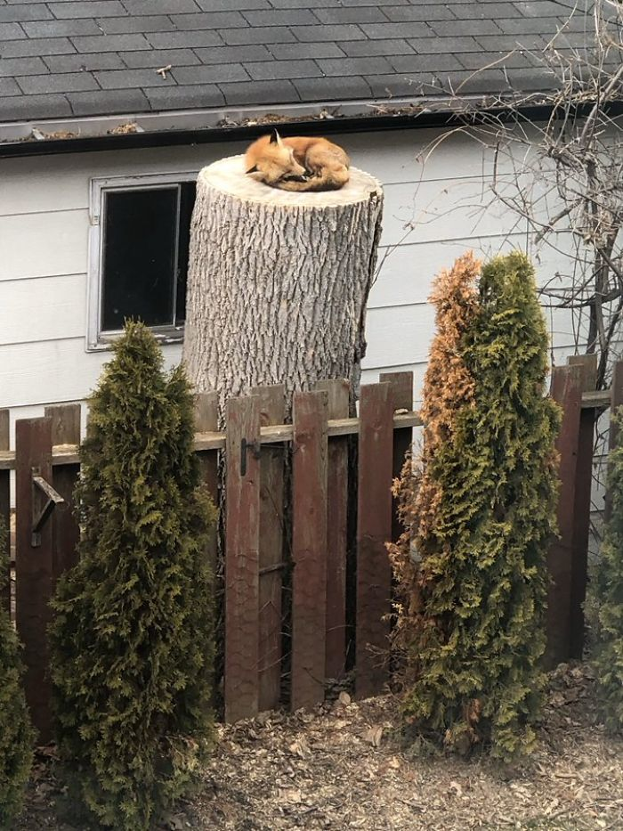 Fox Sleeping On A Tree Stump In The Backyard