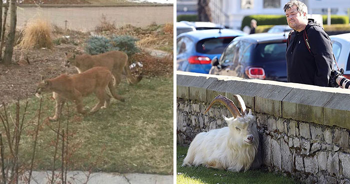 Animals Invade Cities As People Quarantine Themselves At Home (New Pics)