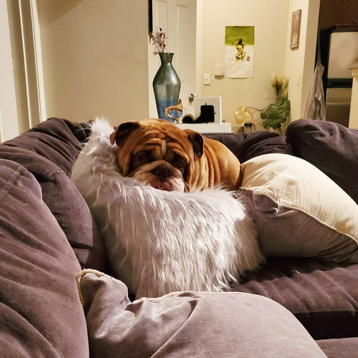 This Bulldog Named Big Poppa Is Sad Because He Can't Play With Kids Outside And People On The Internet Are Heartbroken