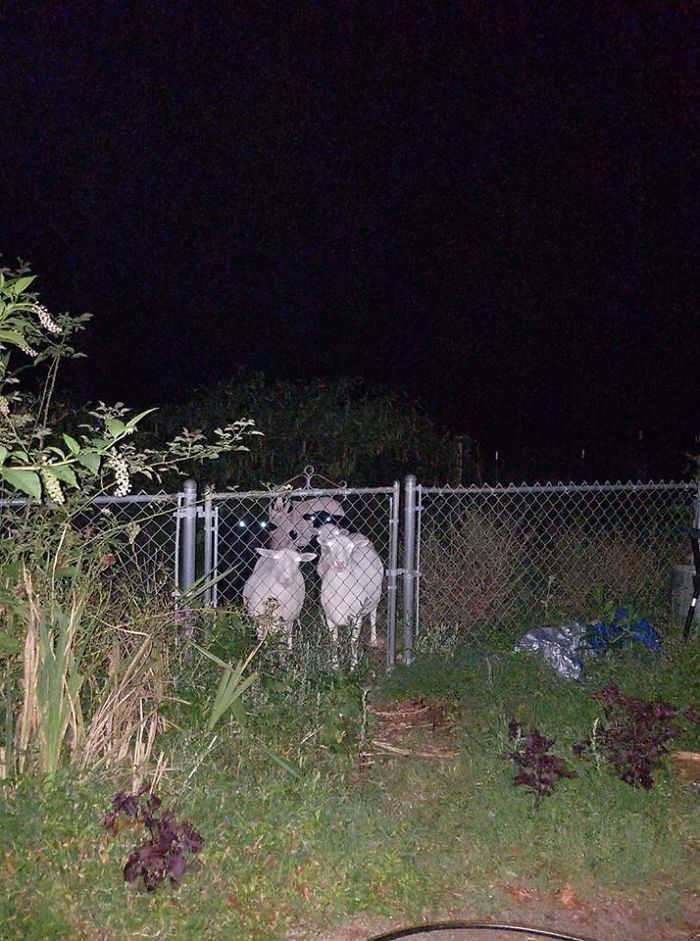 I'm Not Sure Why I Ever Thought It Was A Good Idea To Take A Picture Of The Sheep In The Dark, But It Ended Up Being The Stuff That Nightmares Are Made Of.