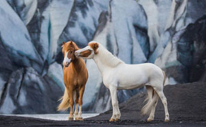 I Photograph Horses In Breathtaking Icelandic Landscapes (30 Pics)