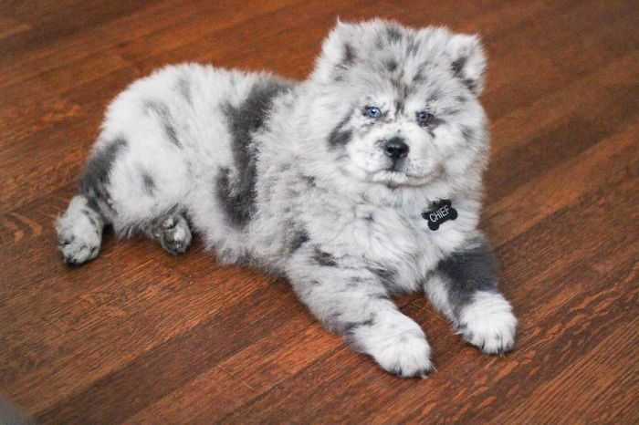 Meet This Tiny Oreo Cloud Who Will Eventually Become A Giant 85-Pound Floof (12 Pics)