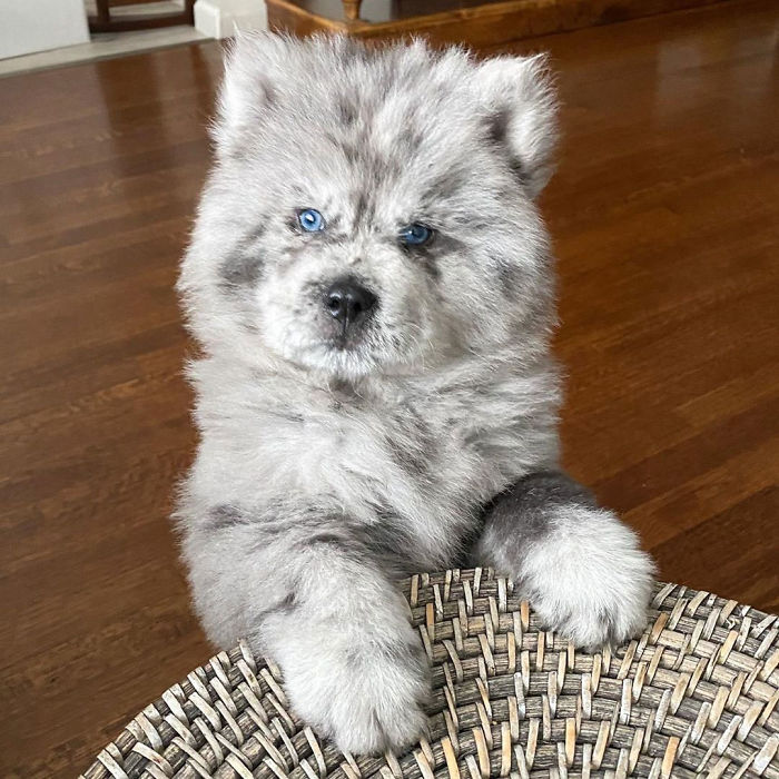 Upoznajte ovog malenog dlakavog psića koji je sladak kao Oreo keks