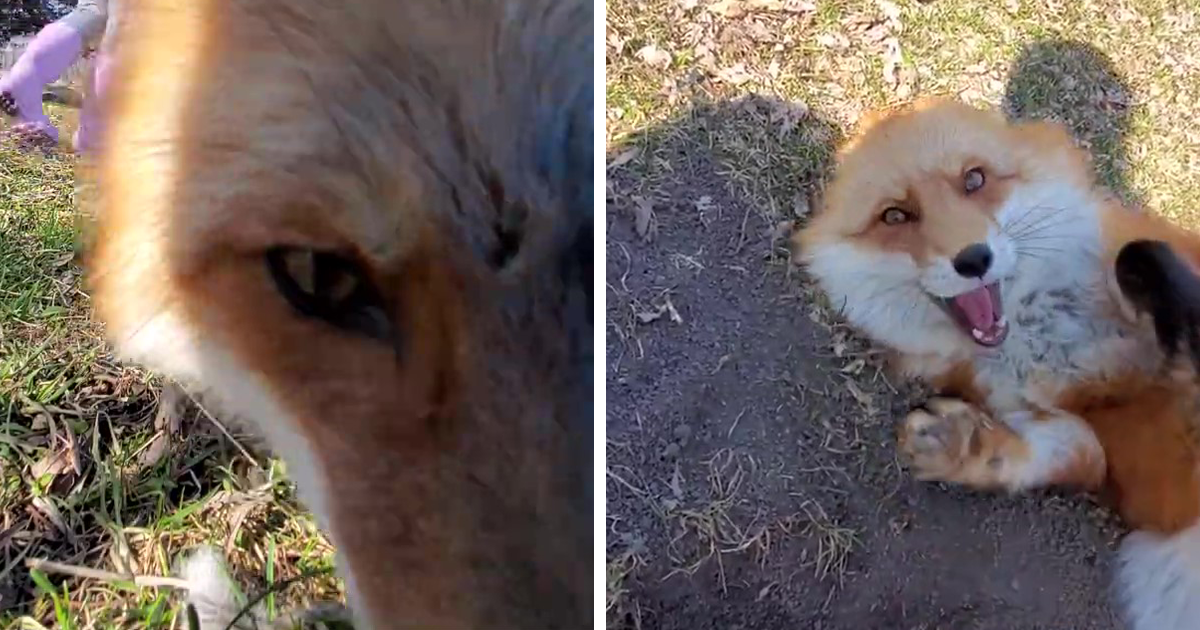 This Sneaky Fox Steals A Woman's Phone, Runs Away While It's Still Recording, Tries To Bury It - bored panda