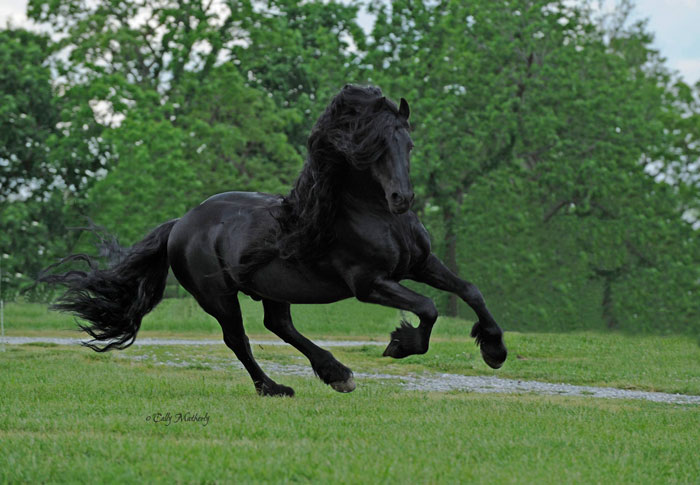 Frederik-The-Great-Friesian-Horse-Stallion