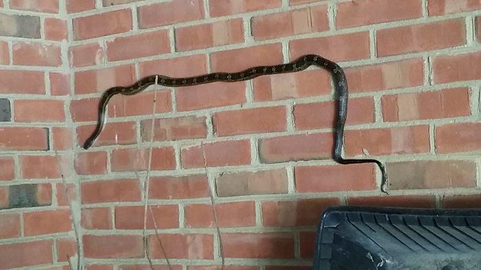 Así descubrí que las serpientes pueden trepar por paredes de ladrillo