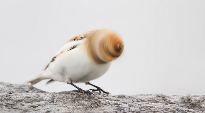 A Snow Bunting Tries To Put More Spin To Its' Crap Story
