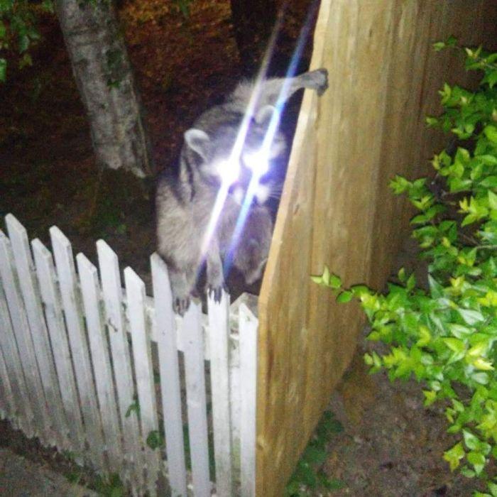 Volvía a casa del bar y este mapache me desafió